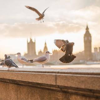 Fåglar vid Themsen i London
