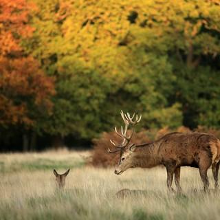 Bara två av de 650 rådjur som lever i Richmond Park