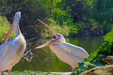 Upptäck pelikanerna i St James's Park